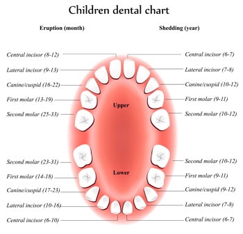 Tooth Eruption Chart - Pediatric Dentist in South Miami, FL